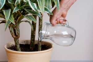 watering houseplant