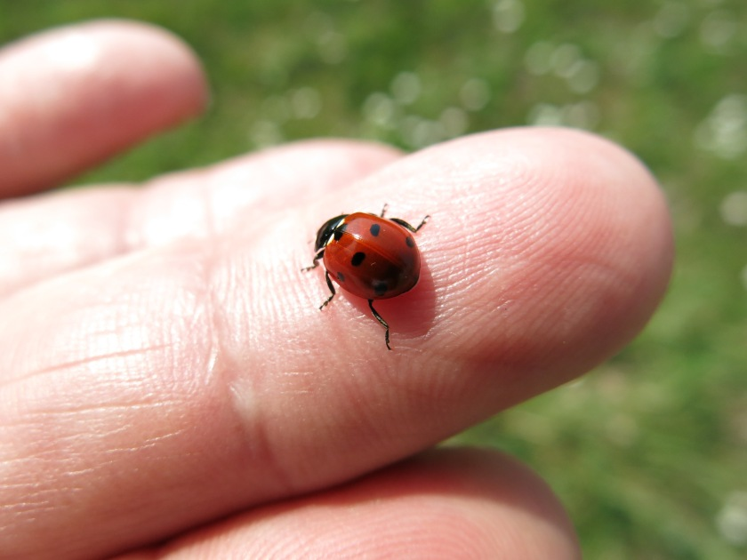 Ladybug_on_a_finger_(16232160426).jpg