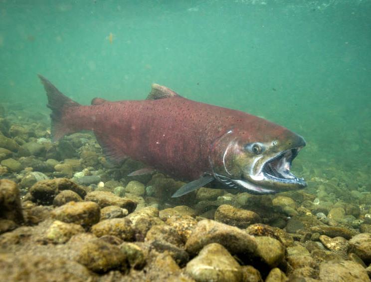 salmon_01