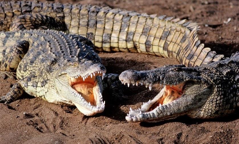crocodiles_02.jpg