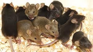 mice_02