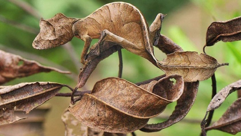 leaf-tailed-gecko_0-2