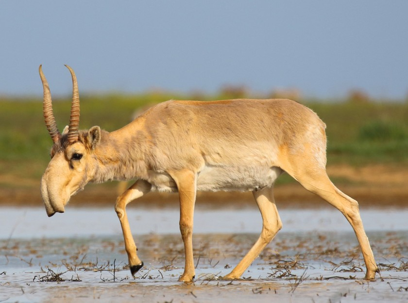 Saiga_antelope_at_the_Stepnoi_Sanctuary cropped.jpg