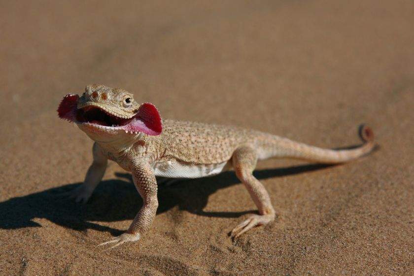 toad-headed gecko_01