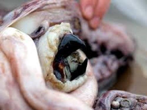 octopusbeak large