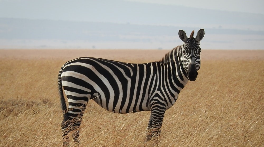 Zebras Are Black And White – But Our World Isn't