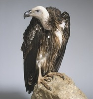 Griffon vulture (Gyps fulvus) perched on a rock, side view