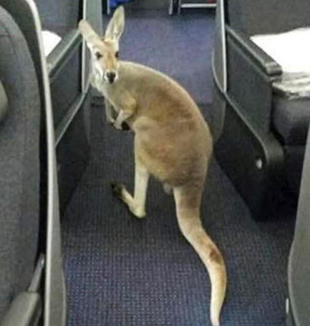 kangaroo cropped