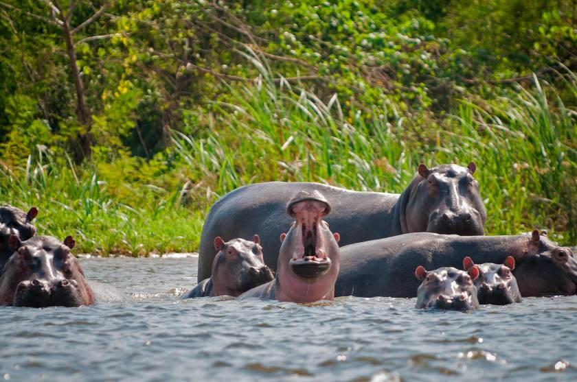 Hippos Columbia