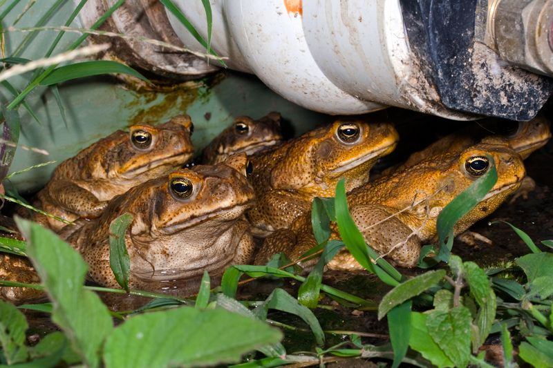 toads multiple
