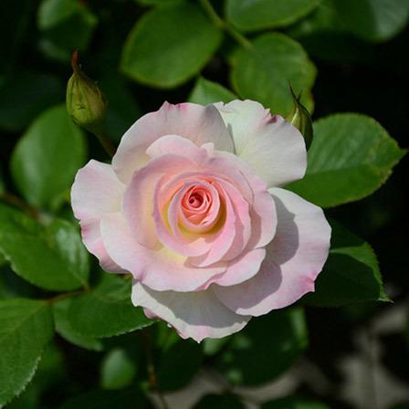 american-beauty-rose-flower