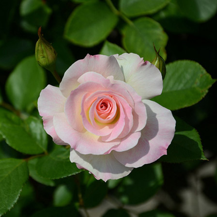 american-beauty-rose-flower