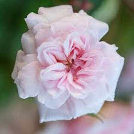 ceclie brunner rose larger