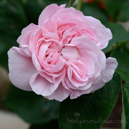 fantin-latour-rose smaller