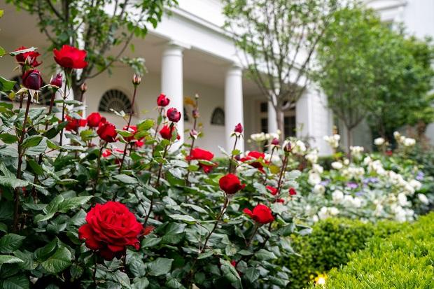 rose_01 smaller